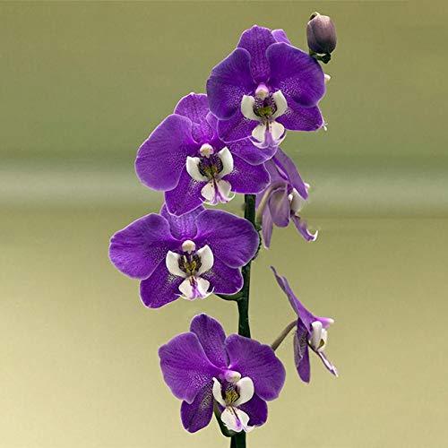 hengduolailin 100Pcs / Packung Orchideensamen, Boot Orchideen