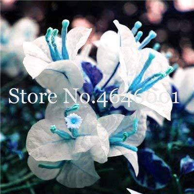bloom green co. 100 pc/sacchetto bougainvillea bonsai piante colorate bouganville spectabilis willd pianta perenne fiore giardino bonsai vaso: 22