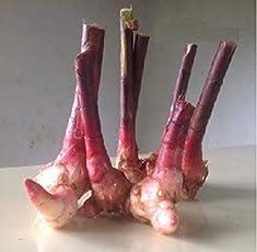 Moolikavana Garden Insulin A Plant Rhizomes - Pack of 5