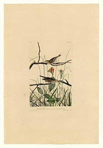 Das Museum Outlet-Audubon (- Savannah Finch-Teller 109-Poster Print Online (A3Poster)