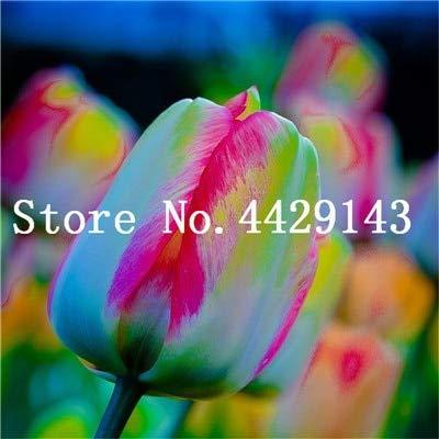 Prime vista 200 pz fiori tulipano bonsai arcobaleno colore petali esterno tulipano fiore perenne giardino domestico fai da te piante in vaso bonsai: 9