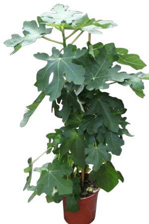 Plante de jardin - Ficus carica \