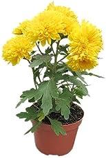 Poudha Sevanthi Chrysanthemum Live Flowering Plant (Yellow)