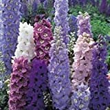 Fiore - Kings Seeds - Confezione Multicolore - Delphinium - Pacific Mix