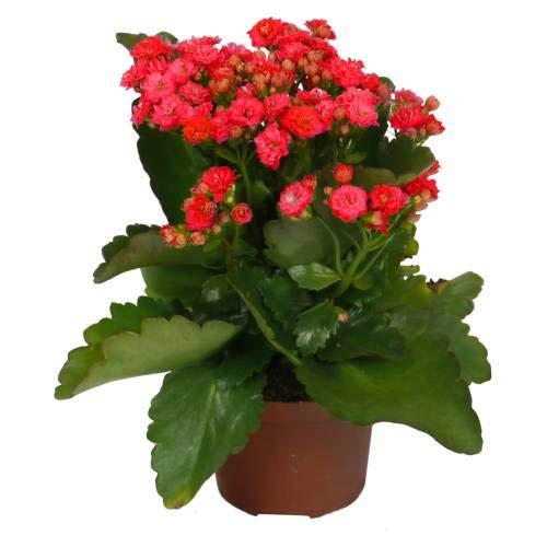 Kalanchoe con Flor