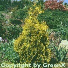 lebensbaum-sunkist-50-60cm-thuja-occidentalis