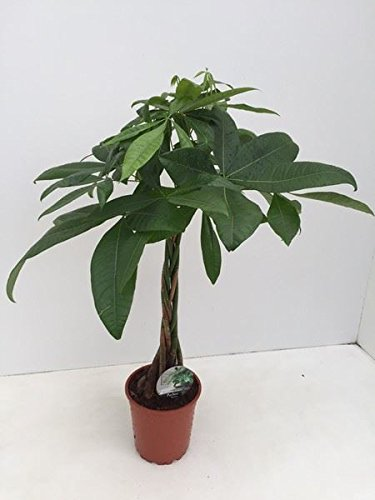 pachira-aquatica-plant-with-a-plaited-stem-guiana-chestnut-tree-70cm-tall