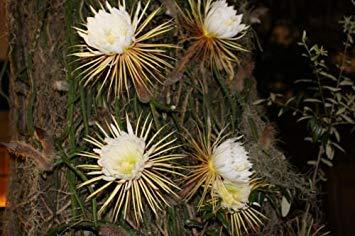 vegherb Selenicereus Grandiflorus Epiphytic Cacti - große Blüte - Samen!