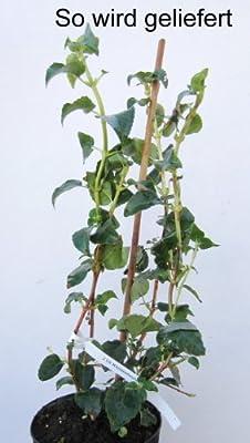 Kletterhortensie, 1 Pflanze von Amazon.de Pflanzenservice auf Du und dein Garten