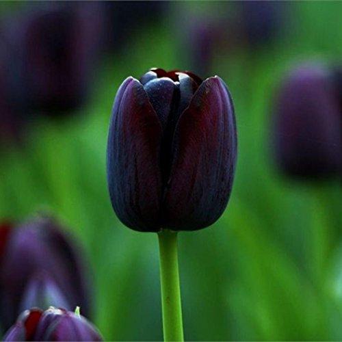 mymotto 20/50/100 Pcs/Sac 7 Couleurs Parfum Tulipe Graine Décor Fleur Bonsaï Graines Plantes En Pot Maison Jardin (20, Noir)