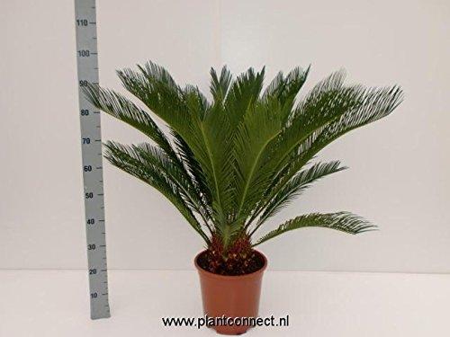 Cycas Revoluta 90cm +/- ,Palmfarn - Sagopalme, Topfgröße 27 cm