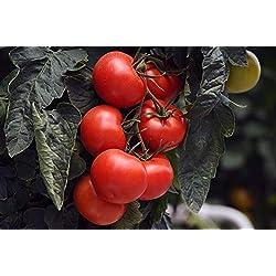 """GEOPONICS Tomato""""Jupiter"""" - for culttion under- premium variyfor ever"""