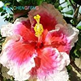100Giant Hibiskus Blume Samen Hardy, Mix Farbe, DIY Home Garden oder Yard Blumen Topfpflanzen, Shown In Desc dunkles kaki