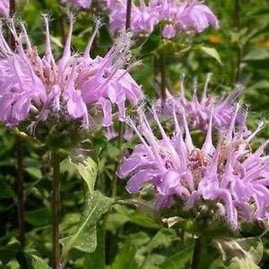FERRY Keim Seeds: Blatt Bienen-Balsam-Samen (Monarda) 200Seeds -