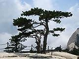 Chinesische Kiefer -Pinus tabuliformis- 20 Samen -Bonsai geeignet-