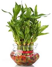 Abana Homes - 2 Layer Lucky Bamboo Plant Indoor with Pot - Live Bamboo Plant in Big Glass Bowl - Great Home/Office Decor