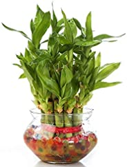 Zaavic 2 Layer Lucky Bamboo Plant with Big Round Glass Bowl and Colored Jelly Balls (Green)