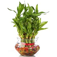 Zaavic Two Layer Lucky Bamboo plant with Big Round Glass Pot and Colored Jelly Balls