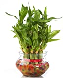 #4: Zaavic 2 Layer Lucky Bamboo Plant with Big Round Glass Bowl and Colored Jelly Balls (Green)