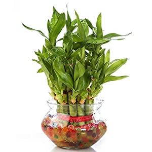 Zaavic 2 Layer Lucky Bamboo Plant with Big Round Glass Bowl and Colored Jelly Balls (Green) Best Online Shopping Store
