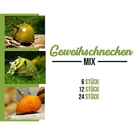 Garnelen Geweihschnecken Mix – bunt – Aquarium Schnecken – Algenvernichter Aquarium Algenbekämpfung