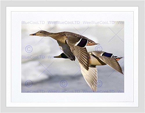 Flying Black Duck (FLYING DUCKS BIRDS SKY BLACK FRAME FRAMED ART PRINT PICTURE MOUNT B12X9185)