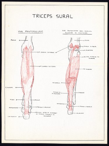2-original-anatomical-drawings-triceps-surae-calf-muscle-leg-soleus-1975