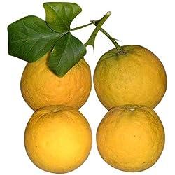 ★ ★ Winterharter Orangenbaum ★ ★ 10 Samen ''poncirus trifoliata'' -Bitterorange- ★★ -25°C ★★