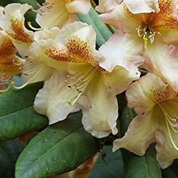SANHOC Samen-Paket: gardenexpert Rhododendron 'Bernstein' 17cm Topf Grße ShrubSEED