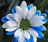 Vista Die seltenste Ballade von Dueana-Chrysanthemen-Blumensamen, Profi-Pack, 50 Samen/Pack, weiße gelbe Blumen 2017