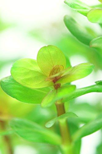 Dennerle Plant It Invitro Live Aquarium Plant - Rotala indica - In-Vitro 6