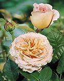 'Abraham Darby' -R-, Englische Rose in A-Qualität Wurzelware