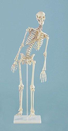 Miniatur-Skelett