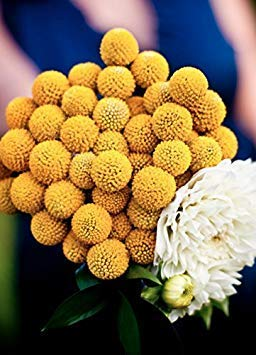 Combo-trommel (. Blumensamen: Trommel-Stock-Globosa Yellow Bio-Garten (16 Packets) Gartenpflanzensamen)