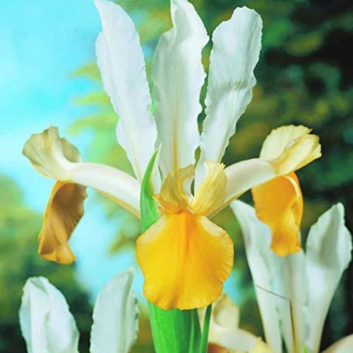 Billig Angel Wings - 50 x Iris Angel Wings -