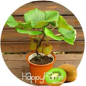 Promoción grande! Las semillas de kiwi plantas en maceta Mini árbol Rich árboles frutales hermoso Bonsai Kiwi Semillas, 100 semillas / Paquete, # IT5O18