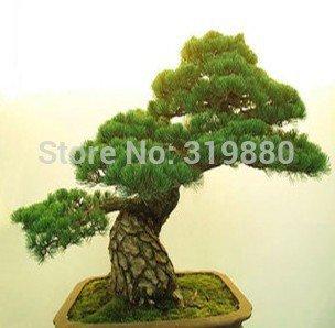 50pcs-semillas-de-rboles-de-gran-cantidad-de-semillas-de-podocarpus-yaccatree-rbol-arbustos-de-hoja-
