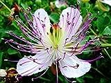 PLAT FIRM Germinazione dei semi PLATFIRM-10 Semi cucullaria Dicentra (dell'olandese culatte) USDA Zone: 3a-7b