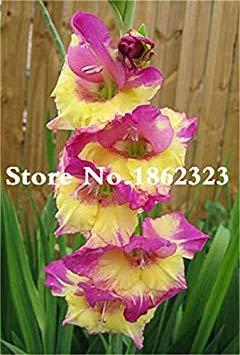 potseed . multi-color gladiolus flower (non gladiolus bulbi), 95% di germinazione, fai da te aerobica in vaso, rare gladiolus flower-120 pz: 7