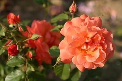 Westerland® - Container Rose im 5 ltr. Topf von Kordes bei Du und dein Garten