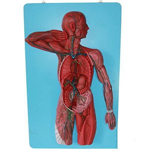 Wissenschaftlich Human Anatomy - Human Lymphsystem Modell Niere mit Nebenniere Modelle Urologie Nephrologie Arzt-Patient-Kommunikation Modell