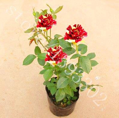 100PCS Rare Bonsai Graines de fleurs chinois Rose Amoureux des semences cadeau Rainbow Rose Flower Balcon & Jardin Plante en pot pour jardin 10