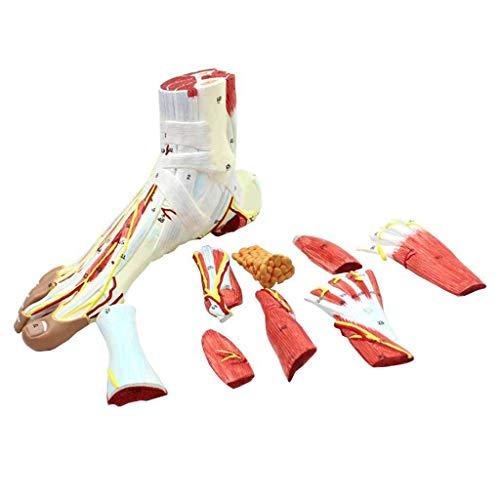 LXX Scientific Anatomie für die menschliche Anatomie, Modell für Fuß- und Neurowaskuläre Bänder, anatomisches Fußgelenk, Muskelvaskuläre Bandage, Medizinische Ausbildungshilfe