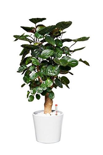 EVRGREEN Fiederaralie | Rarität | Zimmerpflanze in Hydrokultur | im Set inkl. Keramiktopf (weiß) | polyscias balfouriana Fabian