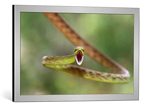 """Quadro con cornice: Jim Cumming """"Green Parrot Snake"""" - stampa artistica decorativa, cornice di alta qualità, 75x45 cm, Argento spazzolato"""