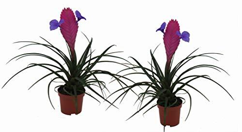 2er Set Bromelie (Tillandsia cyanea), Sorte: Anita, exotische Zimmerpflanze (2)