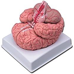 Modelo cerebro con Arterias