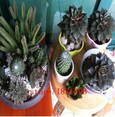 AGROBITS ca. 100 Samen/Pack, Samen Sarracenia purpurea Lila Pitcher Fleisch fressende Samen Pflanze: 4