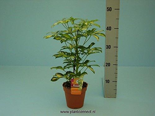 schefflera-gerda-bicolor-pflanze-regenschirm-pflanze-50-cm-hoch-approc