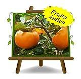 Kaki Apfelsorte Jiro - alte Obstpflanze auf Pflanztopf 26 - Baum max. 190 cm - 4 Jahre